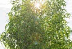Abedul, hojas del verde del árbol en la luz del sol de la mañana Imágenes de archivo libres de regalías