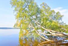 Abedul inclinado sobre el agua del lago Imágenes de archivo libres de regalías