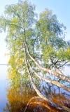 Abedul inclinado sobre el agua del lago Imagen de archivo libre de regalías