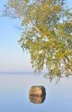Abedul inclinado sobre el agua del lago Foto de archivo libre de regalías