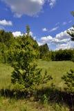Abedul joven en fondo del cielo azul con las nubes blancas Fotos de archivo