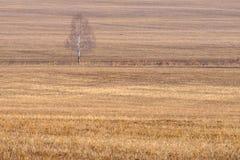Abedul joven sin las hojas en un campo amarillo con la hierba seca, primavera temprana en el campo Foto de archivo libre de regalías