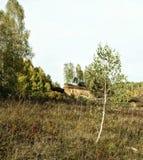Abedul joven solo en el claro en otoño Foto de archivo libre de regalías