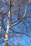 Abedul lejano de las ramas de árboles Foto de archivo