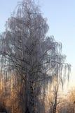 Abedul lejano de las ramas de árboles Imagen de archivo