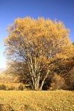 Abedul llamativo amarillo en un cielo del fondo Foto de archivo libre de regalías