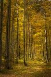 Abedul más forrest de la luz colorida del otoño, dolina de Logarska, Sloveni Imagen de archivo