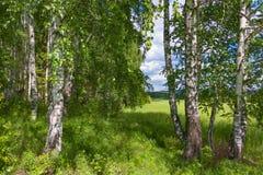 Abedul mezclado y bosque conífero en verano Imagenes de archivo
