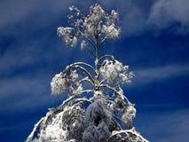 Abedul Nevado Imagen de archivo libre de regalías