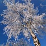 Abedul Nevado Fotografía de archivo libre de regalías