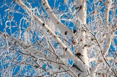 Abedul nevado en el fondo del cielo azul Imágenes de archivo libres de regalías