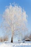 Abedul nevado hermoso en día de invierno Fotos de archivo