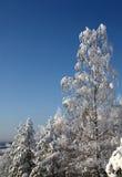 Abedul Nevado y algunos otros árboles Foto de archivo