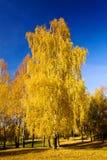 Abedul (otoño) Imágenes de archivo libres de regalías
