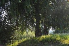 Abedul por la mañana Imagen de archivo libre de regalías