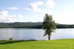 Abedul por un lago Imagen de archivo