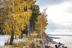 Abedul que amarillea y la primera nieve caida Siberia, la costa de Foto de archivo libre de regalías