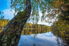 Abedul que cuelga sobre el agua del lago Autumn Landscape Imagen de archivo libre de regalías