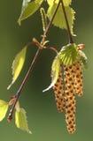 Abedul que florece en la primavera Fotografía de archivo libre de regalías