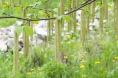 Abedul que florece en parque Fotografía de archivo libre de regalías