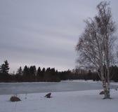 Abedul que llora en invierno Imágenes de archivo libres de regalías