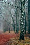 Abedul que se coloca en el bosque de niebla Imágenes de archivo libres de regalías