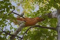 Abedul quebrado de la rama en la madera Imágenes de archivo libres de regalías