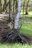 Abedul - raíces Imagen de archivo libre de regalías