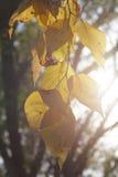 Abedul retroiluminado Autumn Leaves Imagen de archivo