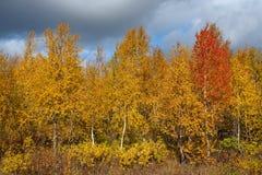 Abedul rojo entre amarillo en otoño Foto de archivo