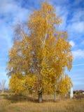 Abedul ruso de oro y cielo azul Foto de archivo