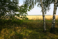 Abedul ruso del paisaje del verano Foto de archivo libre de regalías