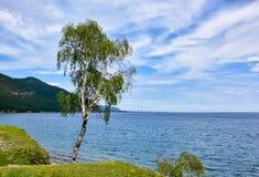 Abedul ruso en la orilla de Baikal Foto de archivo libre de regalías