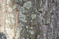 Abedul sin follaje Bosque de abedules sin las hojas Bosque de la primavera del bosque del otoño Fotografía de archivo libre de regalías