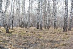 Abedul sin follaje Bosque de abedules sin las hojas Bosque de la primavera del bosque del otoño Foto de archivo libre de regalías