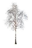Abedul sin las hojas aisladas en blanco Foto de archivo libre de regalías