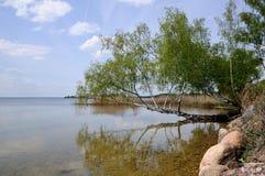 Abedul sobre el agua Fotos de archivo libres de regalías