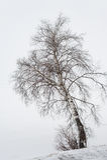 Abedul solitario del invierno Fotos de archivo libres de regalías