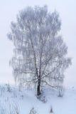 Abedul solitario en el bosque del invierno cubierto con la nieve blanca Imagen de archivo