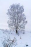 Abedul solitario en el bosque del invierno cubierto con la nieve blanca Imagen de archivo libre de regalías