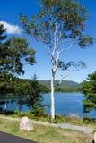 Abedul solitario en el lago azul Fotografía de archivo