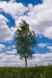 Abedul solo contra el cielo azul en el paisaje de la primavera Fotos de archivo