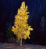 Abedul solo del otoño Imagenes de archivo