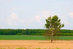 Abedul solo en el campo. Imágenes de archivo libres de regalías