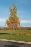 Abedul solo en el campo de golf Foto de archivo libre de regalías