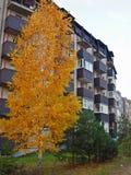 Abedul solo en la ciudad - el venir del otoño Imágenes de archivo libres de regalías