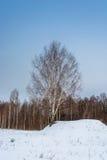 Abedul solo en la colina nevosa Fotografía de archivo