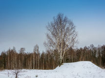 Abedul solo en la colina nevosa Imagen de archivo