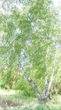 Abedul solo en la franja Imagen de archivo libre de regalías