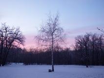 Abedul solo en la madera en la puesta del sol Fotografía de archivo libre de regalías